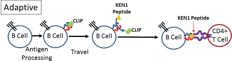 Adaptive B Cell